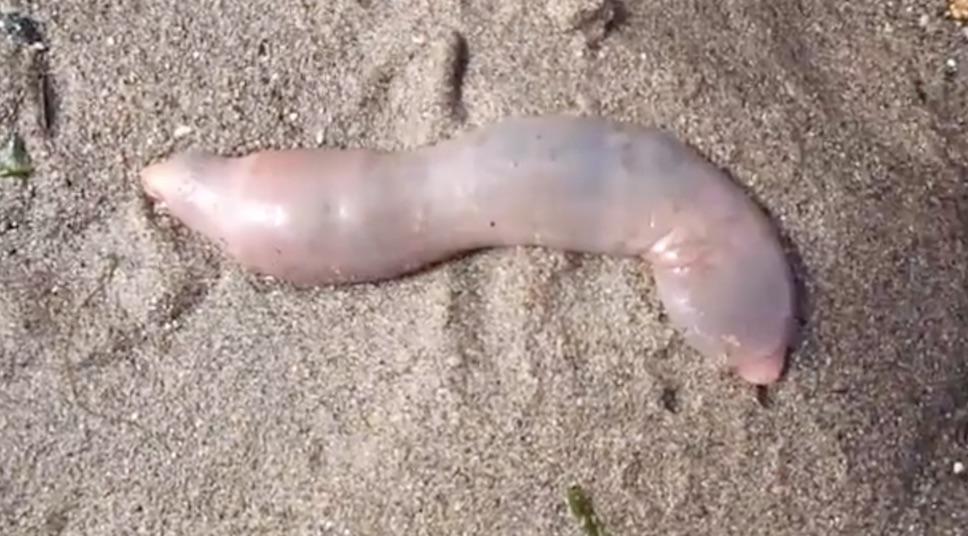 vermi marini