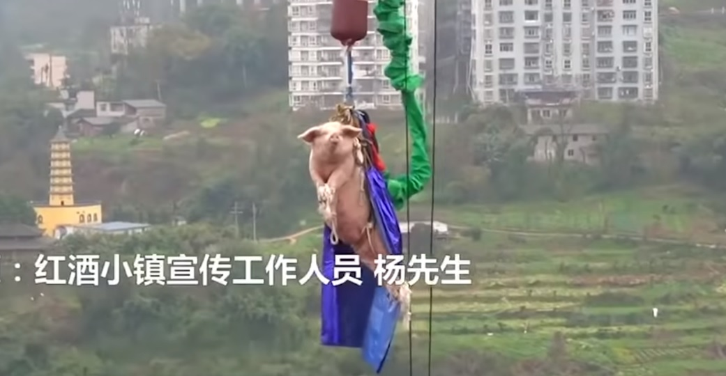 Maiale lanciato dal bungee jumping in Cina: bufera sui social